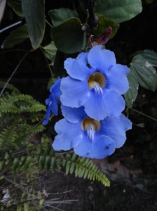 Thunbergia blossoms