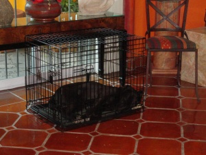 And Diego zipped into the open door, ran to his cage, nosed the door open and slept through the entire thing.  This is not punishment.  He loves his little cage--for sleeping only.  He is a puppy and still has the chews.