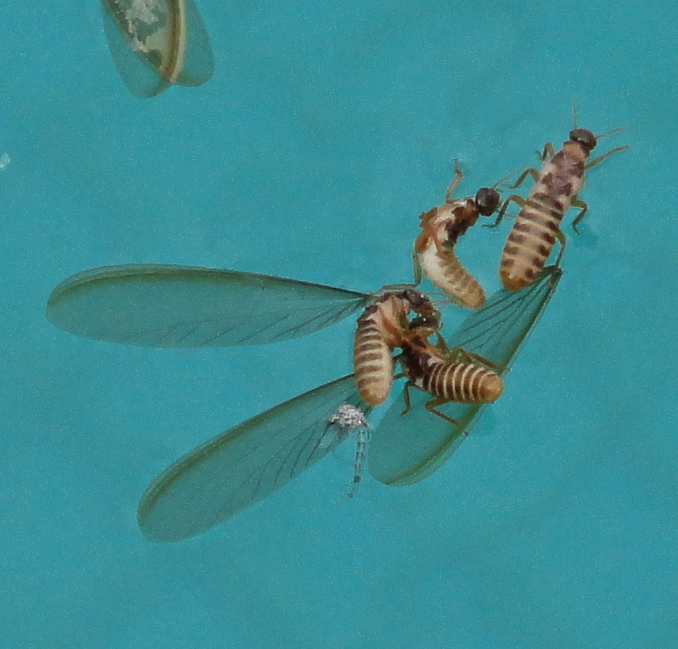 Swarmers Termites: Brown Termites Without Wings