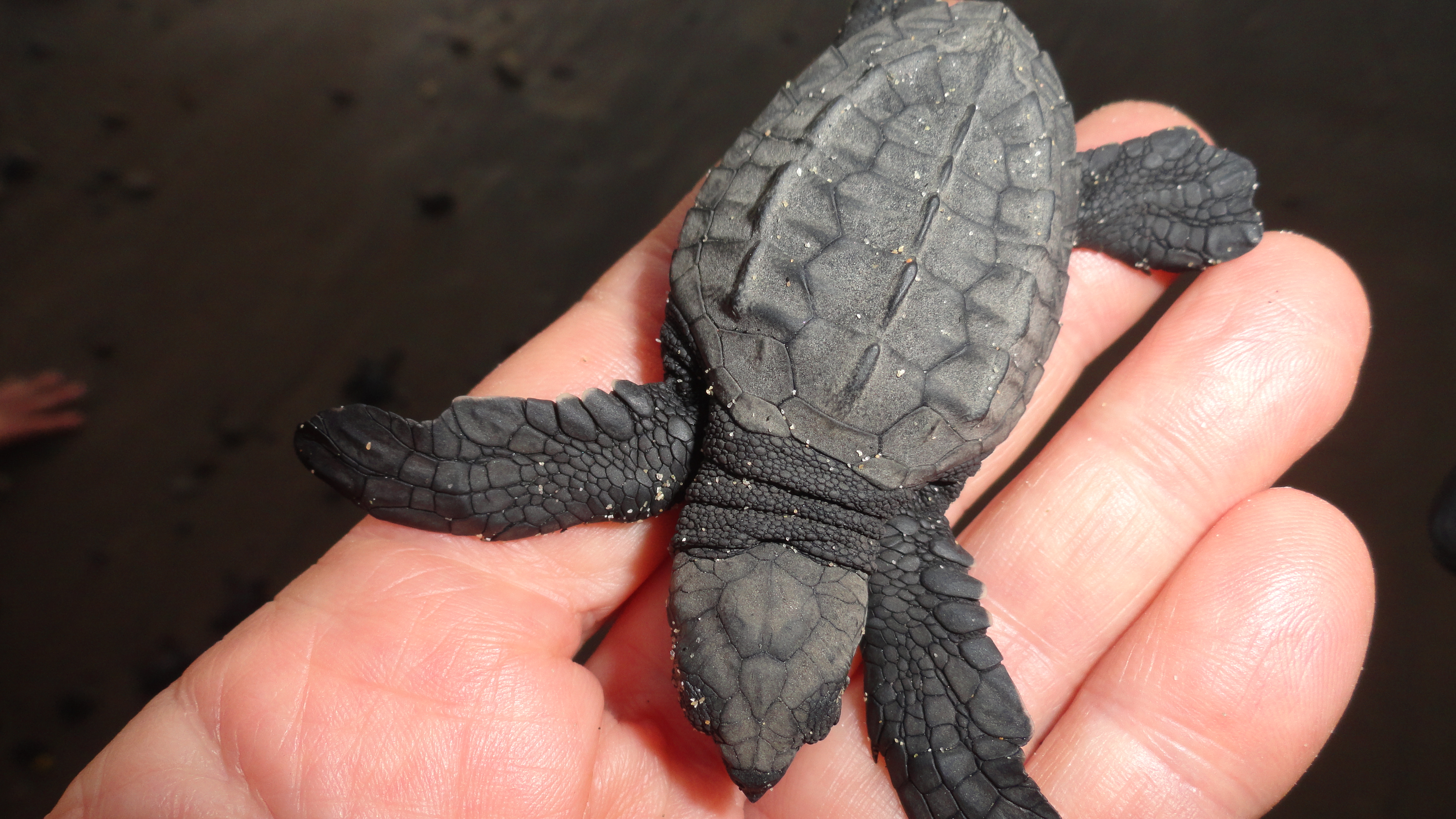 essay poems turtles hatching Mark oconnor turtles hatching turtles hatching the poem mark o'connor female turtles are manuscript name papers of mark o'connor manuscript number mss 3 last.