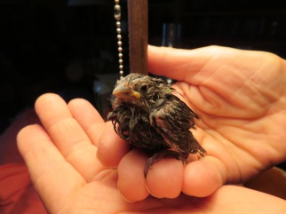 And Morrie brought this little fella into the house in his mouth during a rainstorm. He had obviously been washed out of his nest.