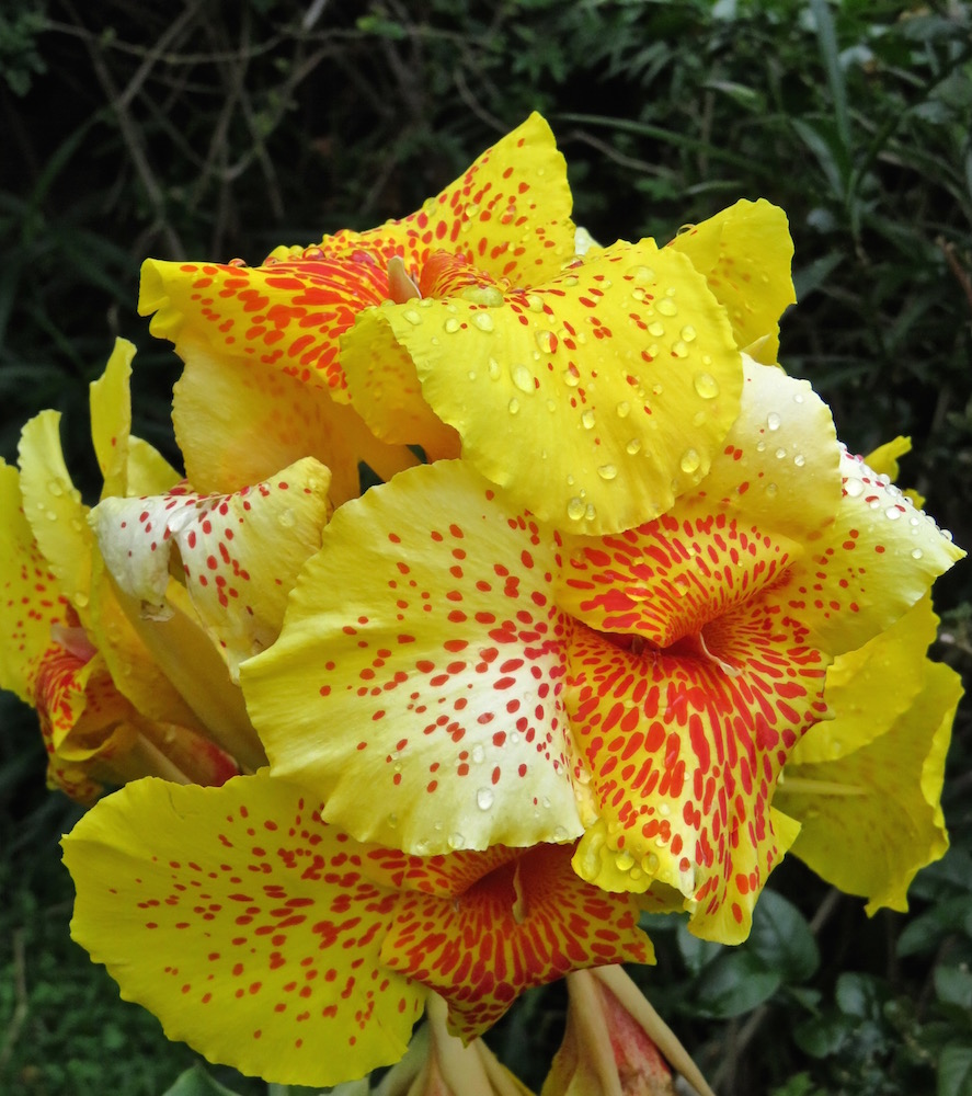 Yellow Spotted Iris Cees Flower Of The Day Challenge August 2