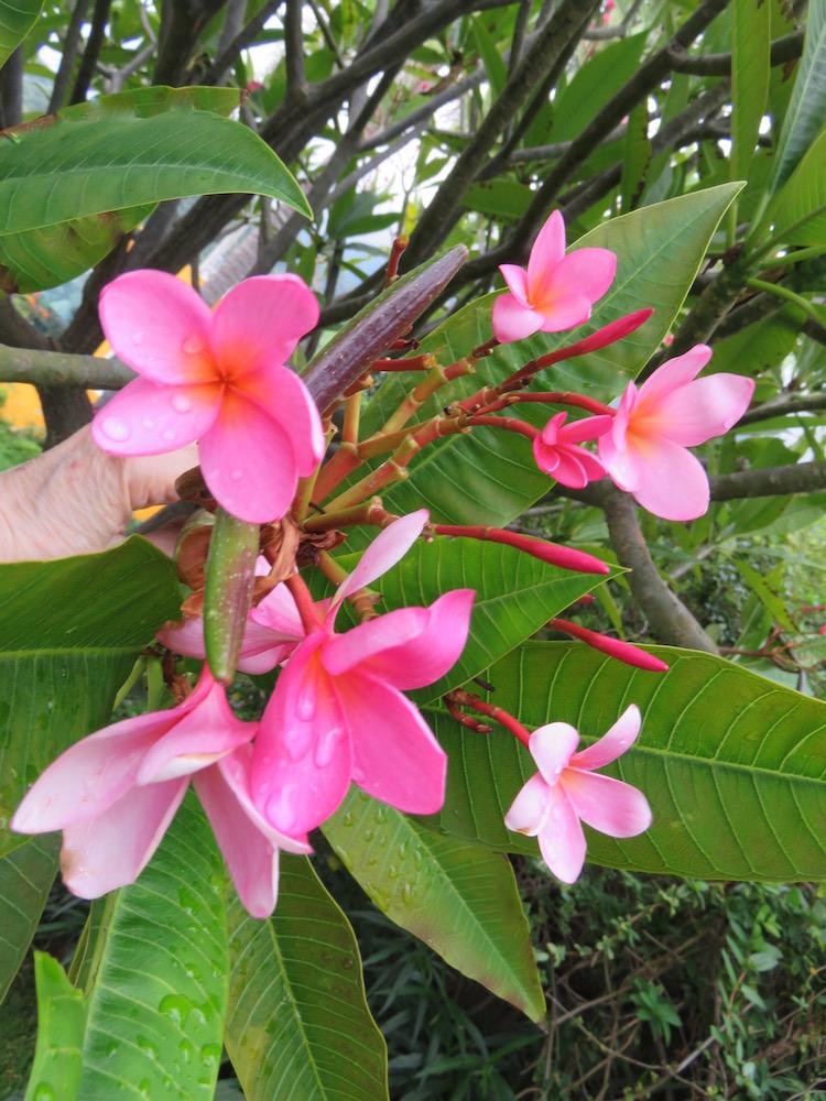 frangipani in hindi