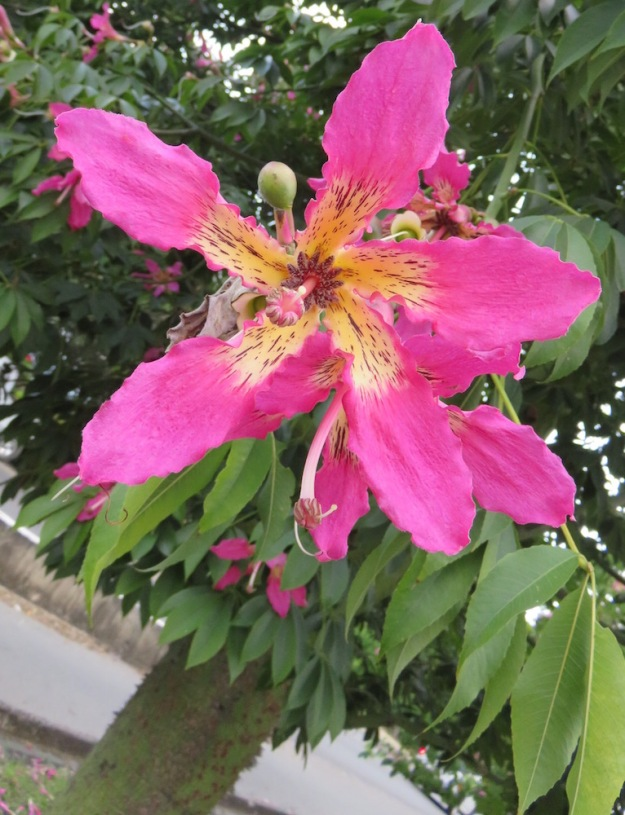 Ceiba Speciosasilk Floss Tree Lifelessons A Blog By Judy