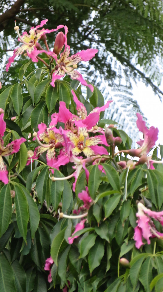 Mexican Flowering Tree With Thorny Trunk Lifelessons A Blog By