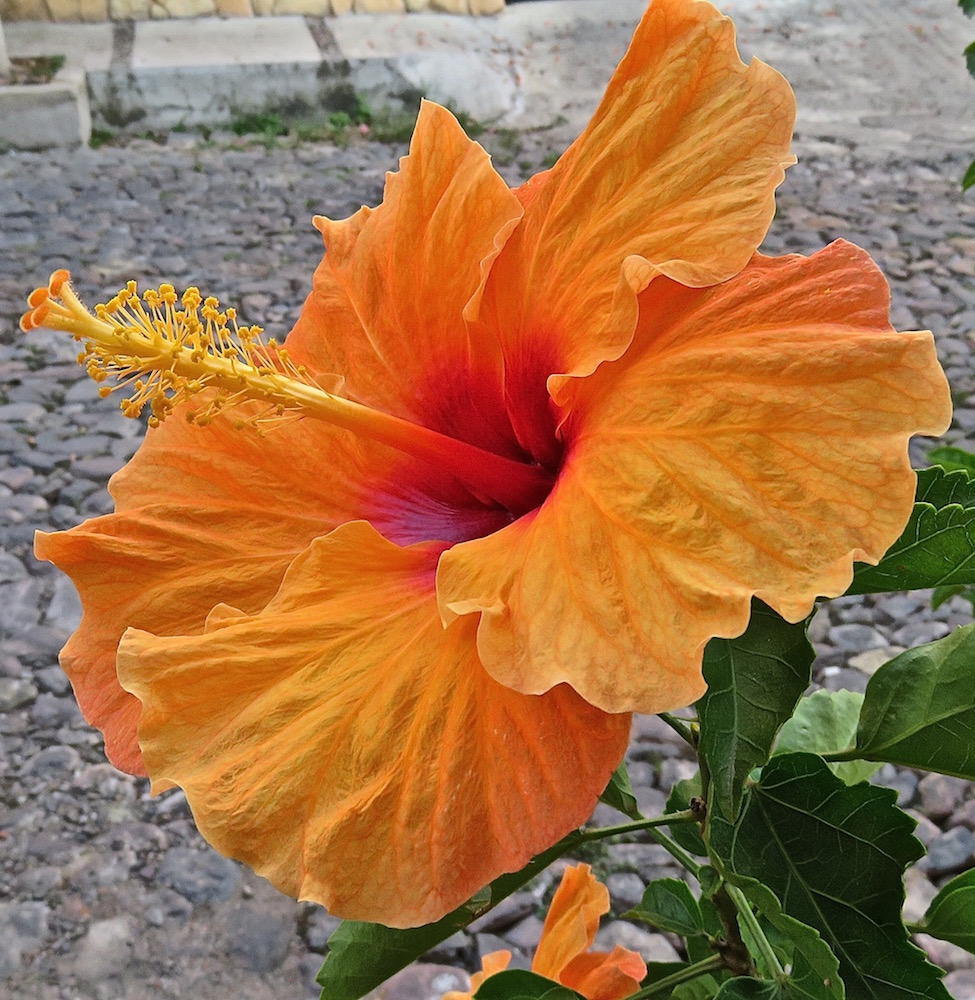 Heavenly hibiscuscees flower of the day challenge lifelessons i found this gorgeous hibiscus outside the casa del sol bb in ajijic ive been there twice in the past week for a feria fashion show and then for a board izmirmasajfo
