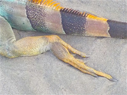 I first came upon this (sadly) dead iguana partially buried in the sand.