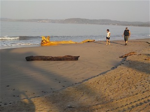 Two beach walkers gave scale to the huge logs