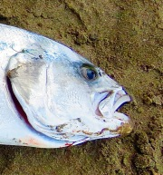 """A closer crop loses the detail of the """"comb"""" of the rooster fish, but to me has a more dramatic effect than showing the entire fish."""
