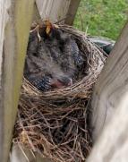 Baby Robins 2