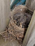 Baby Robins 3