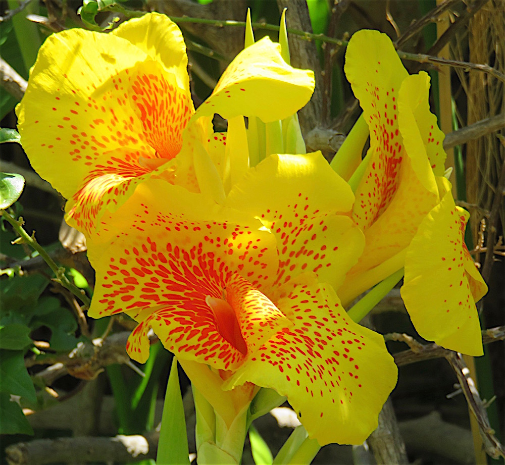 Canna Lily Flower Of The Day June 13 2016 Lifelessons A Blog