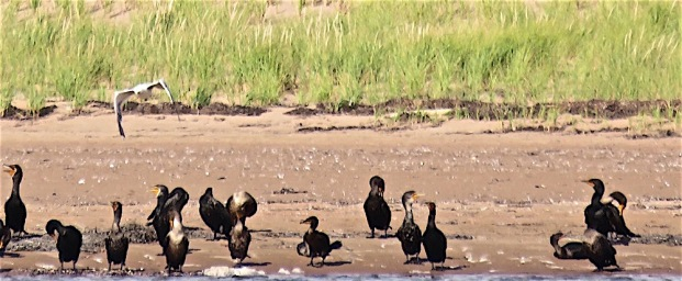 The cormorants were collecting in a long strung-out line