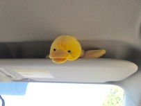 but when Big Duck objected, he had to find other ways to spend his time. He practiced his surfing on the sun visor until we assured him there was no surf in Minnesota.