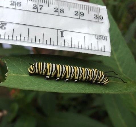 monarch-04