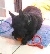 Good Morrie, chewing his chew toy.