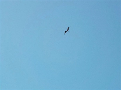 What is this frigate bird looking down on?
