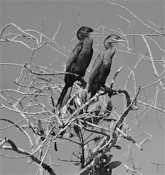 Cormorant Couple