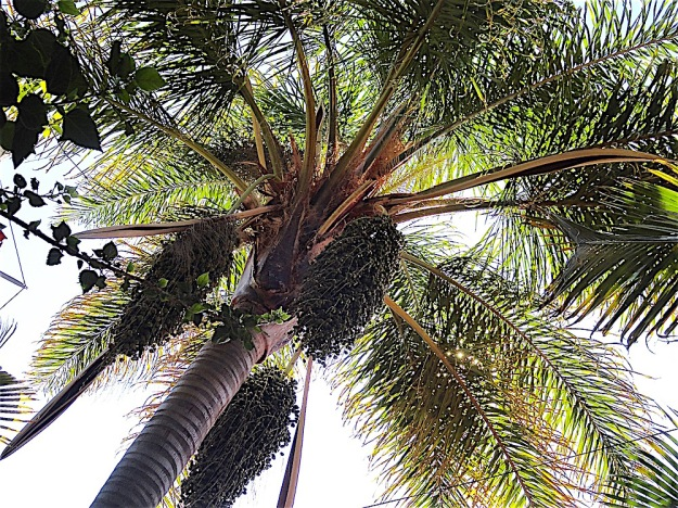 BACK YARD PALM