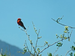 Vermillion Flycatcher--or is it a scarlet tanager? They aren't supposed to be this far west in Mexico, but who knows?