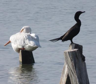 with pelicans, cormorants