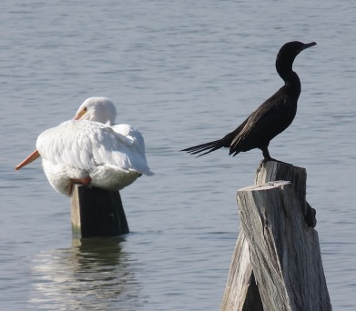 with pelicans, cormorants