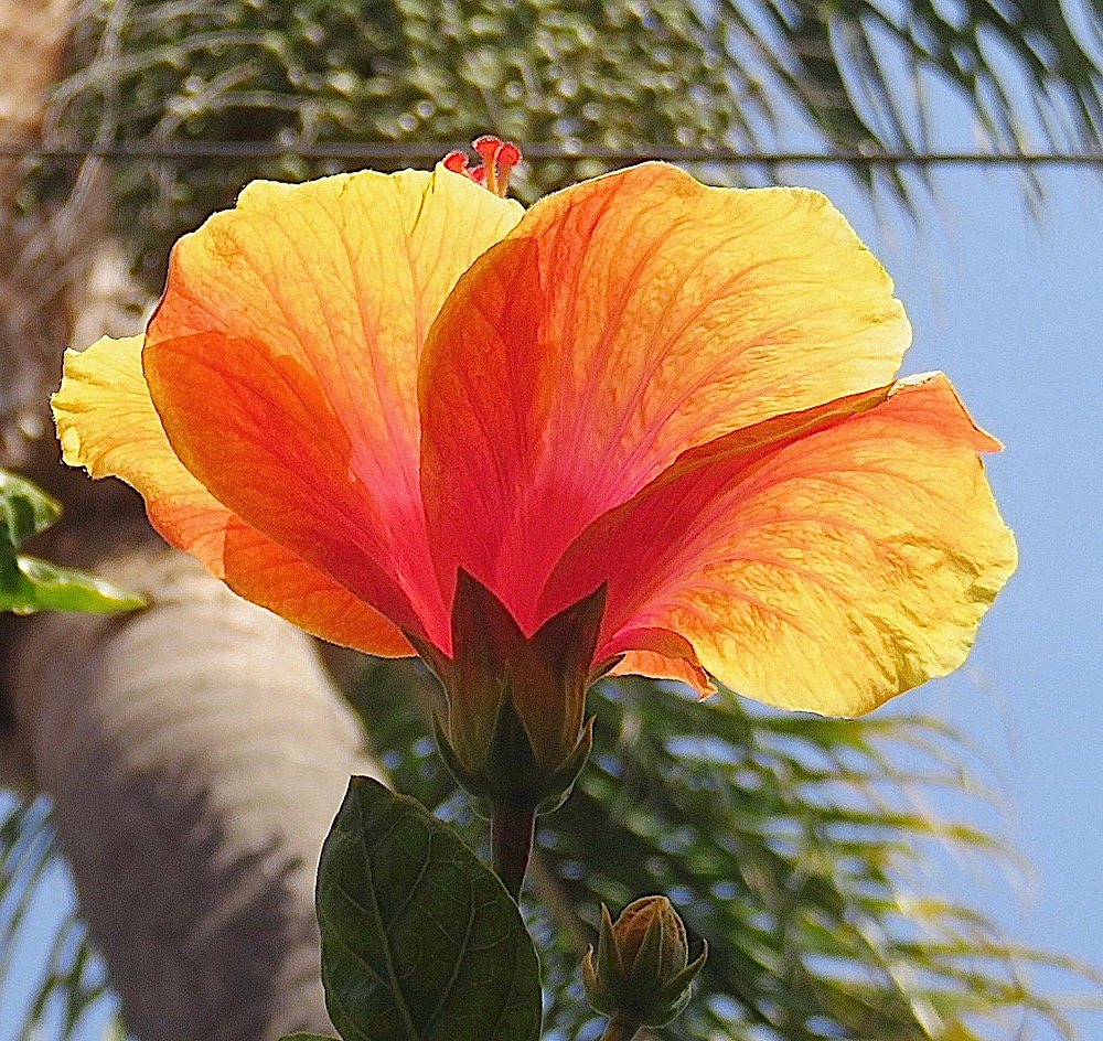 Hibiscus flower of the day jan 1 2018 lifelessons a blog by hibiscus flower of the day jan 1 2018 lifelessons a blog by judy dykstra brown izmirmasajfo