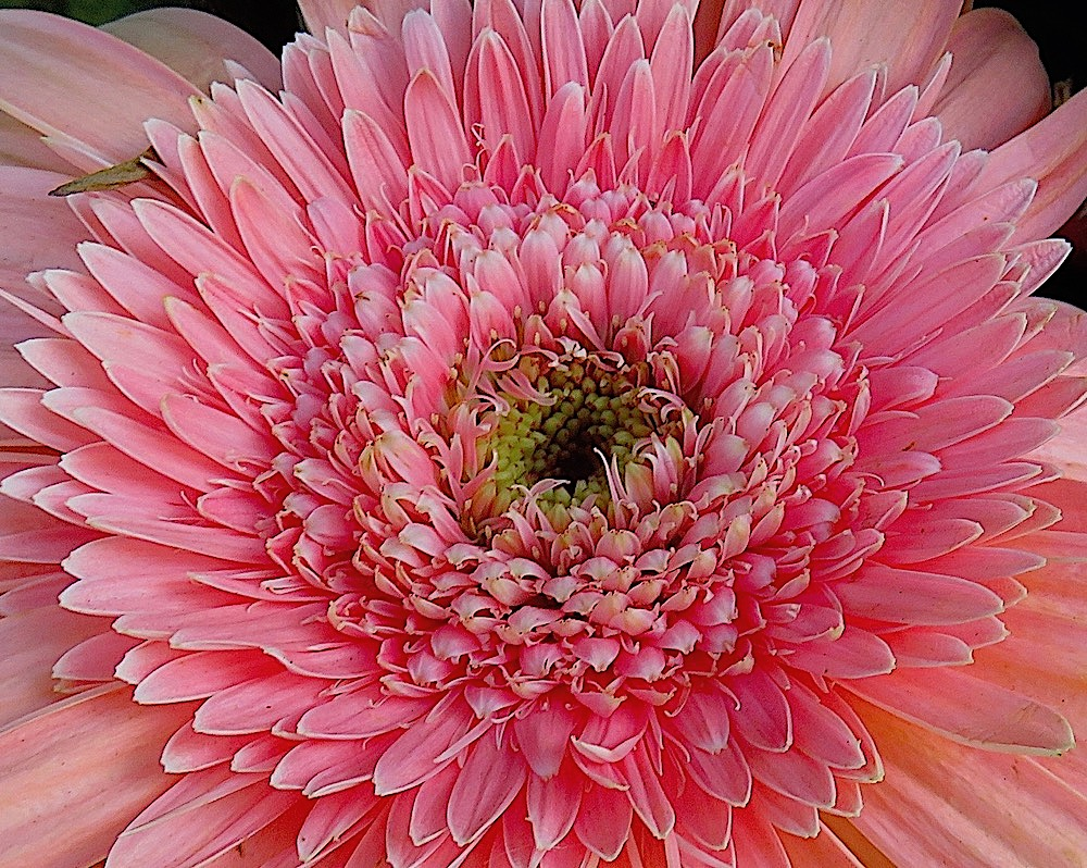Gerbera Daisy Flower Of The Day Feb 15 2018 Lifelessons A