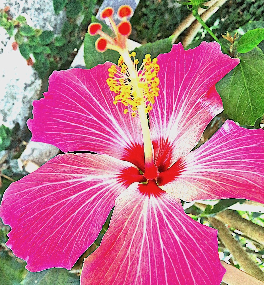 Hibiscus show off flower of the day mar 26 2018 lifelessons a hibiscus show off flower of the day mar 26 2018 lifelessons a blog by judy dykstra brown izmirmasajfo Images
