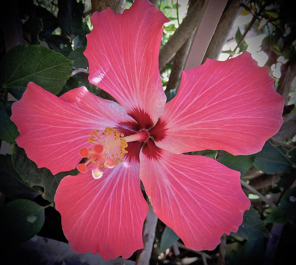 Hibiscus flower of the day apr 19 2018 lifelessons a blog by hibiscus flower of the day apr 19 2018 lifelessons a blog by judy dykstra brown izmirmasajfo
