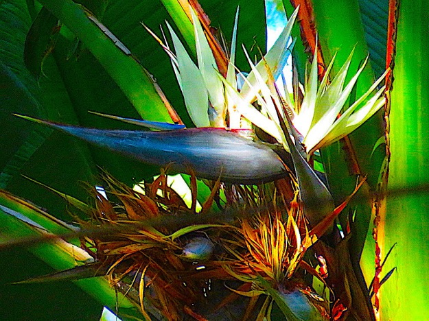 White bird of paradise flower of the day apr 20 2018 white bird of paradise flower of the day apr 20 2018 11 replies img9397 the white bird of paradise mightylinksfo