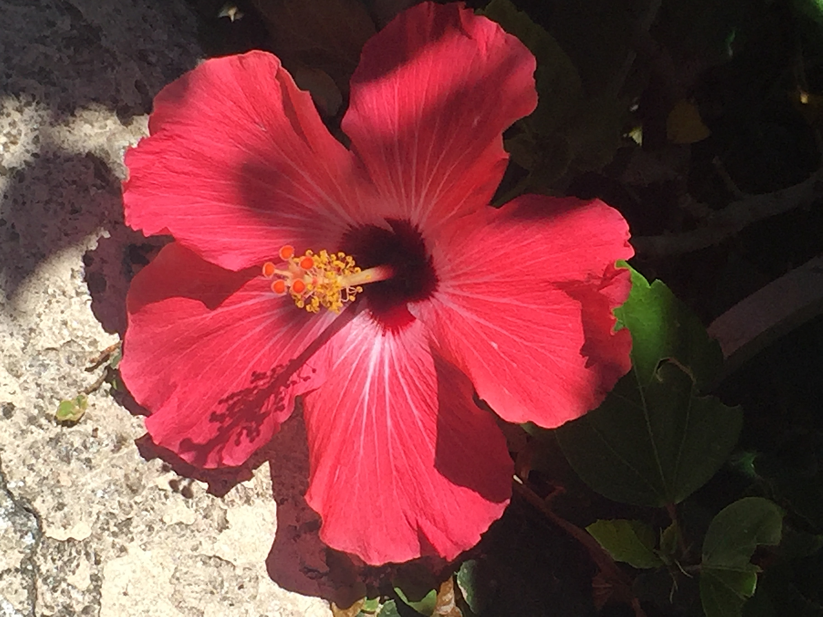 Red hibiscus flower of the day may 21 2018 lifelessons a blog red hibiscus flower of the day may 21 2018 lifelessons a blog by judy dykstra brown izmirmasajfo