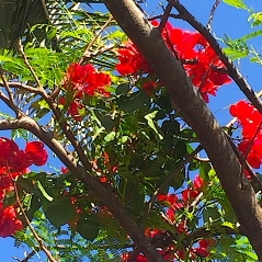 Royal poinciana in bloom in front garden
