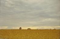 Missouri wheat field