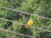 Same was true of the yellow bird she thought was an Oriole but later discovered was probably a yellow-breasted chat