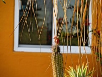 A cardinal perched on the top of a cactus for such a short time that Mom couldn't focus fast enough, so she didn't get a very good shot.
