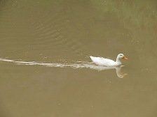 This duck came all the way across the lake to see us, hoping for crumbs. Sadly, we had none.