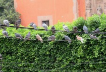 The ever-present pigeons.