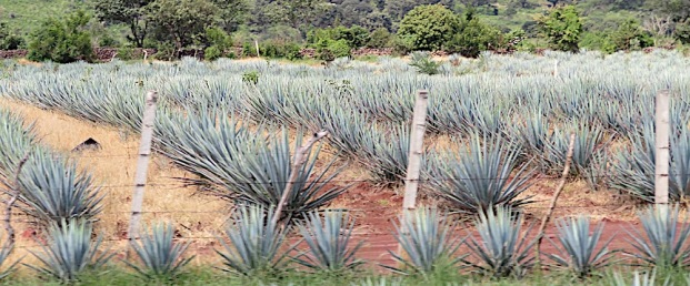 Blue agave by side of road.