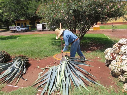 Chopping the spines off the agave.