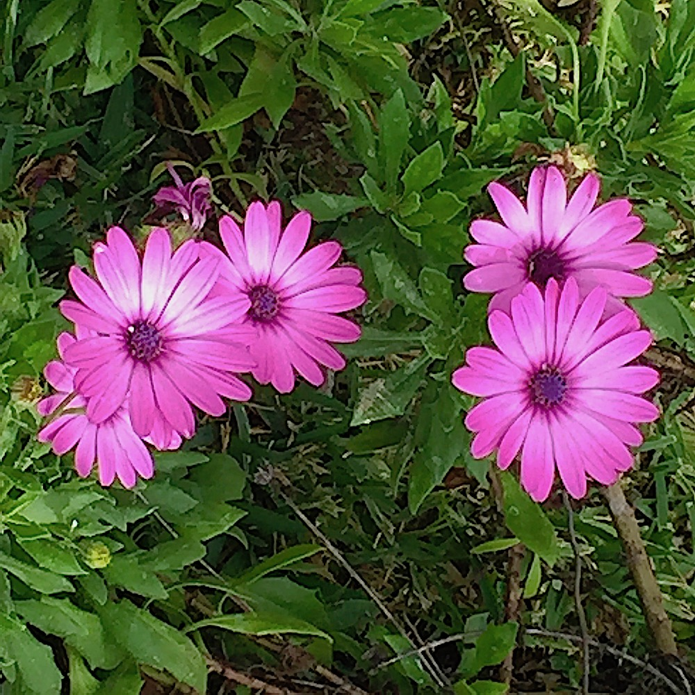 Purple Daisies Flower Of The Day Sep 13 2018 Lifelessons A