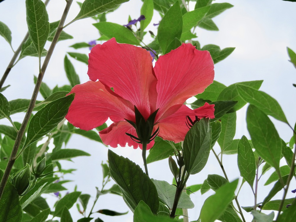 Hibiscus Flower Of The Day Nov 15 2018 Lifelessons A Blog By