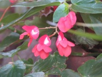 This little begonia is easily overlooked.
