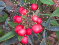 Berries on the heavenly bamboo will need to substitute for holly.