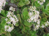 All of my jade plants are flowering, many of the blooms gone to seed.