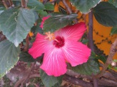 This is the one vibrant rose-colored hibiscus that hasn't chosen to stray over to my neighbor's side of the wall.