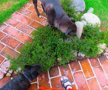 Morrie and Diego are very interested in this new little rock garden at the junction of the two brick pathways because it was a section they used to pretty consistently dig up, either to eat grass or to bury their bones. Now they are somewhat mystified by what has sprung un in their playgeround, even a month after the planting.