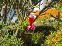 Then, my next brainstorm was that the somewhat leafless plumeria tree next to it would be a great place for a hummingbird feeder. I had one that generous housesitters had bought a few years ago but that I rarely filled,so the first step in this plan was to fill and hang the hummingbird feeder,