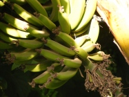 These were the small emerging bananas above the bloom.