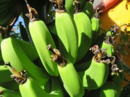 During December and January, the bananas continued to develop.